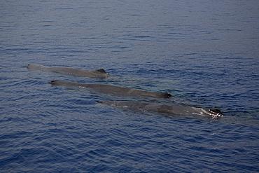 Three sperm whales (Physeter macrocephalus) logging. Greece, Eastern Med.