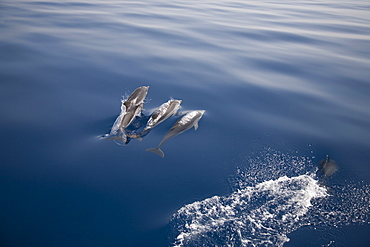 Three striped dolphins (Stenella coeruleoalba) breaking the surface. Greece, Eastern Med.