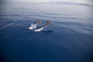 Two striped dolphins (Stenella coeruleoalba) leaping. Greece, Eastern Med. - 906-39