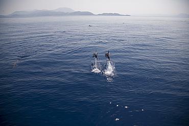 Two striped dolphins (Stenella coeruleoalba) leaping. Greece, Eastern Med.