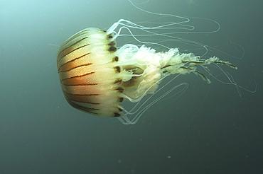 Compass Jellyfish (Chrysaora hysoscella)  Scraggane, The Maharees, County Kerry, Ireland   (RR)
