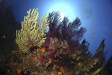 Soft Corals & Gorgonian Seafans (Species unknown).