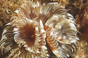 Feather Duster Worm (Species unknown) Babbacombe, Torquay, South Devon, UK   (RR)