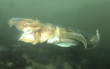 Cuttlefish (Sepia officinalis) Two mating head to head within minutes of first encounter. Babbacombe, Torquay, South Devon, UK   (RR)