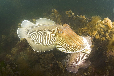 Cuttlefish (Sepia officinalis) Mating/Courtship. Babbacombe, Torquay, South Devon, UK   (RR)