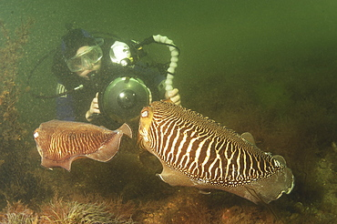 Cuttlefish (Sepia officinalis) Two in courtship, being photographed by diver. Babbacombe, Torquay, South Devon, UK   (RR)