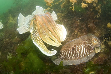 Cuttlefish (Sepia officinalis) Courtship. Babbacombe, Torquay, South Devon, UK   (RR)