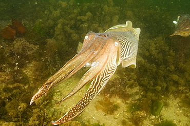 Cuttlefish (Sepia officinalis). Babbacombe, Torquay, South Devon, UK