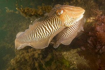 Cuttlefish (Sepia officinalis) Mating.  Babbacombe, Torquay, South Devon, UK