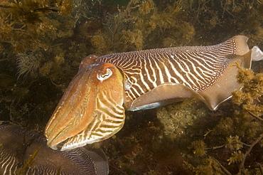Cuttlefish (Sepia officinalis) Mating/Courtship.  Babbacombe, Torquay, South Devon, UK