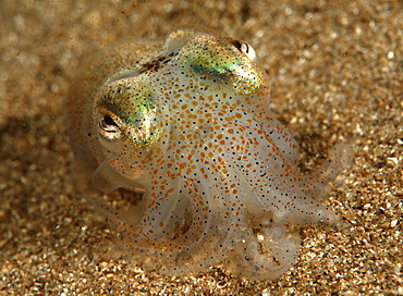 Cuttlefish (Sepia Officinalis) Location unknown
