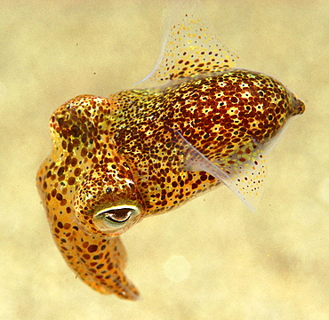 Cuttlefish (Sepia officinalis) changing colour.  Scraggane, The Maharees, County Kerry, Ireland