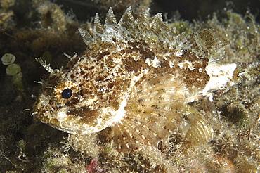 Scorpionfish (Taurulus bubalis).Sardinia, Italy   (RR)