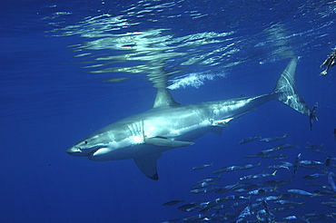 Great White Shark (Carcharodon Carcharias) swimming with shoal of fish.Isla Guadalupe, Mexico.   (RR)