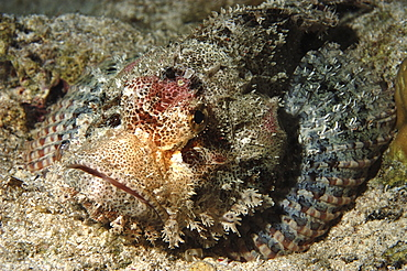 Scorpionfish (Species unknown) with fish louse. Wakatobi, Onemobaa Island, Indonesia   (RR)