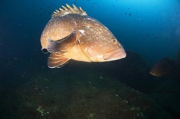 Dusky Grouper (Epinephelus marginatus). Sardinia, Italy