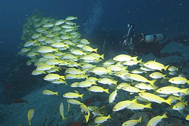 Bengal Snapper (Lutjanus bengalensis) Diver swimming with shoal.Seychelles   (RR)
