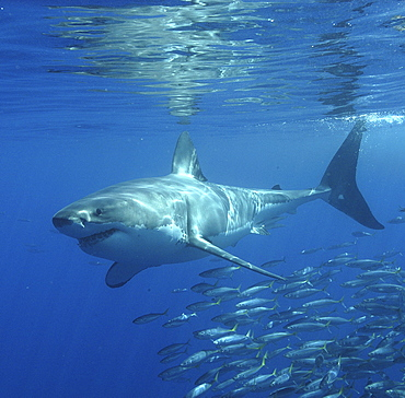 Great White Shark (Carcharodon Carcharias) swimming with shoal of fish. Isla Guadalupe, Mexico.