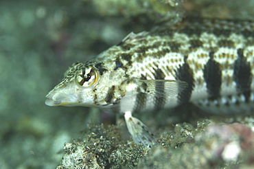 Fish (Species unknown).Sulawesi, Indonesia   (RR)