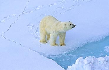 Polar Bear (Ursus Maritimus) on cracking sea ice. Rijpfjorden, Svalbard.