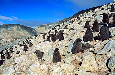 Huge colony of Adélie Penguin chicks (Pygoscelis adeliae) waiting for their parents to return and feed them. Paulet Island, Weddell Sea