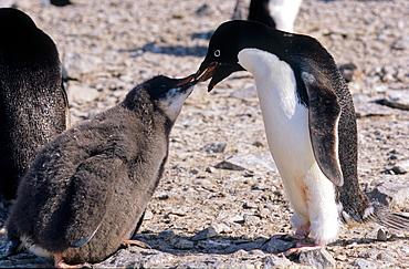 Adult Adélie Penguin (Pygoscelis adeliae) feeding its chick with krill. Paulet Island, Weddell Sea