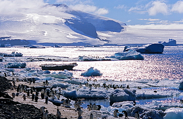 Huge colony of Adélie Penguins (Pygoscelis adeliae) shuttling food from the sea to the hungry chicks ashore. Paulet Island, Weddell Sea