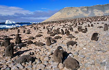 Huge colony of Adélie Penguin chicks (Pygoscelis adeliae) waiting for their parents to retrun and feed them. Paulet Island, Weddell Sea
