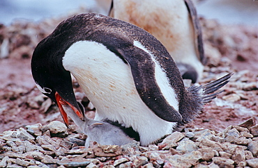 Adult Gentoo Penguin (Pygoscelis papua) trying to feed its chick with krill. Neko Harbour, Antarctica