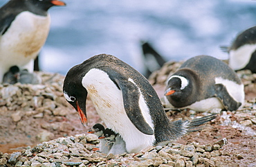 Gentoo Penguin (Pygoscelis papua) colony - some still lying on their eggs, others already have their chicks. Neko Harbour, Antarctica