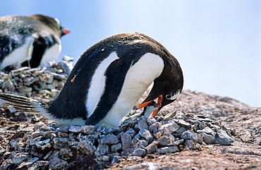Adult Gentoo Penguin (Pygoscelis papua) checking on its chick while sitting on nest. Cuverville Island, Antarctica