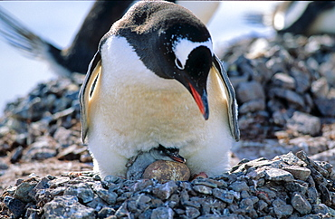 Adult Gentoo Penguin (Pygoscelis papua) sitting on nest with one hatched chicken and one still being in egg. Cuverville Island, Antarctica