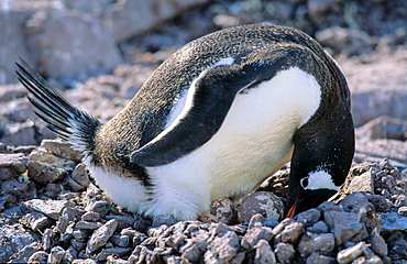 Adult Gentoo Penguin (Pygoscelis papua) sitting on nest with two eggs. Cuverville Island, Antarctica