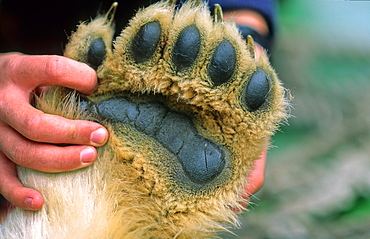 Paw with claws of a young Polar Bear (Ursus Maritimus). Hinlopenstreet, Svalbard.