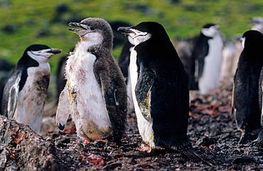 Adult Chinstrap Penguin (Pygoscelis antarcticus) with almost grown up chick. Livingston Island, Antarctica