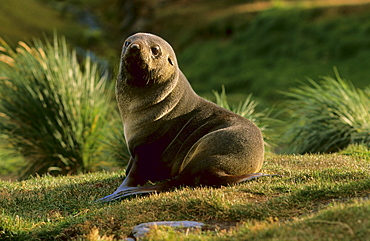 Antarctic Fur Seal (Balaenoptera Musculus) sitting in between tussock grass.  Grytviken, South Georgia, Subantarctic, Southern Ocean.