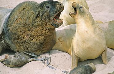 Big male Hookerís Sea Lion (Phocarctos Hookeri) checking out its next mate. Sandy Bay, Auckland Island, Subantarctic New Zealand.