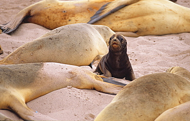 Female Hooker's Sea Lions (Phocarctos Hookeri) and a puppy in between. Sandy Bay, Auckland Island, Subantarctic New Zealand.   (RR)