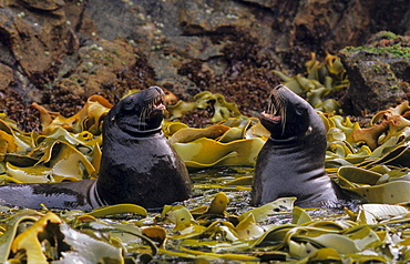 Two young male Hooker's Sea Lions (Phocarctos Hookeri) play fight. Snares Island, Subantarctic New Zealand.   (RR)