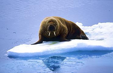 Walrus (Odobenus Rosmarus) lying on an ice floe.  Southern Hinlopen Street, Svalbard, High Norwegian Arctic.