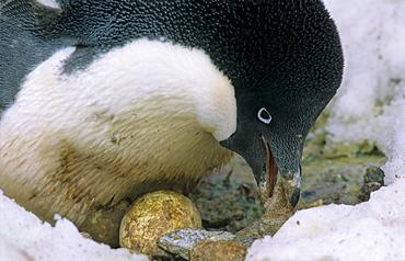 Adult Adelie Penguin (Pygoscelis Adeliae) incubating its eggs. Commonwealth Bay, East Antarctica