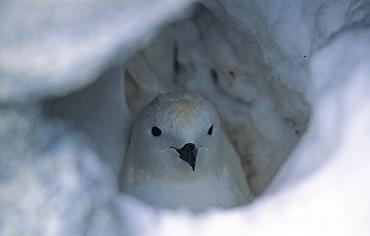 Nesting Snow Petrel (Pagodroma Nivea). Commonwealth Bay, East Antarctica.