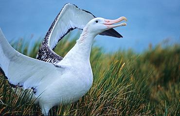 Wandering Albatross (Diomedea Exulans) walking in between tussock grass.  Prion Island, South Georgia, Subantarctic, Southern Ocean.