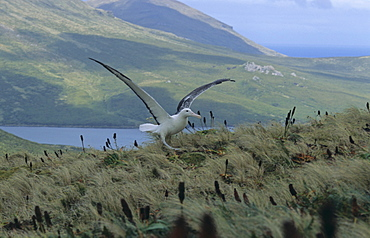Southern Royal Albatross (Diomedea Epomophora) take off. Campbell Island, Subantarctic New Zealand.   (RR)