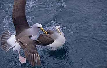Salvin's Albatross (Diomedea Cauta Salvini) landing on a water surface. Snares Island, Subantarctic New Zealand.