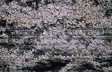Cliffzone occupied by nesting Kittiwakes (Rissa Tridactyla). Freemansundet, Svalbard.