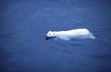 Swimming Polar Bear (Ursus Maritimus). Olga Street, Svalbard, High Norwegian Arctic.