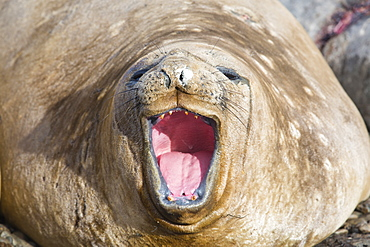 Southern Elephant Seal; Mirounga leonina, on Prion Island, South Georgia, Antarctica, yawning,