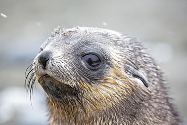 Antarctic Fur Seal pups at Salisbury Plain, South Georgia, Southern Ocean.