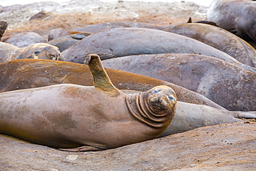 Southern Elephant Seals; Mirounga leonina, at Hannah Point, on livingston Island in the South Shetland Islands off the Antarctica Peninsular.